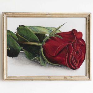 گل رز مدادرنگی